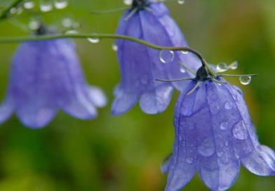 Польова квітка